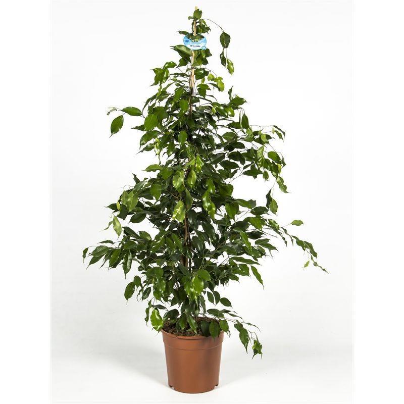 Ficus benjamina d27 a vendre