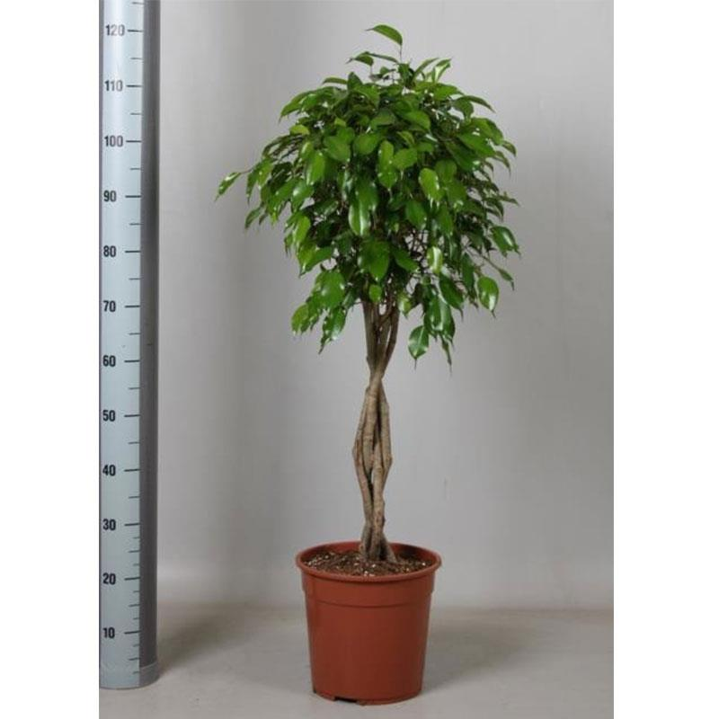 Ficus benjamina tige tresse a vendre