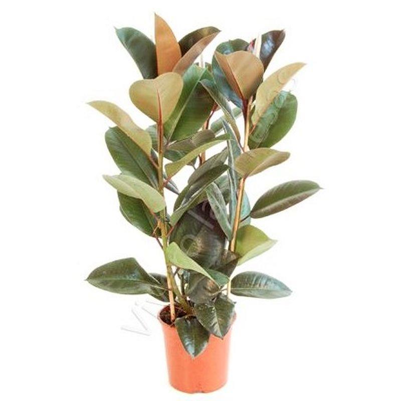 Ficus elastica a vendre 1