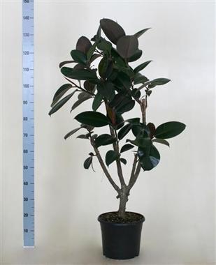 Ficus elastica a vendre