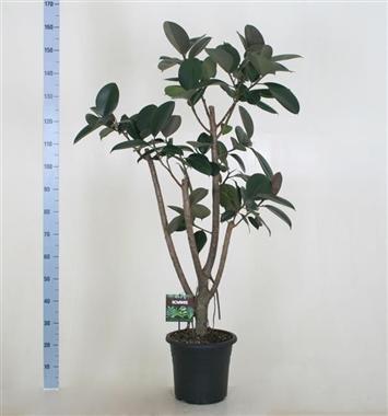 Ficus elastica d32 a vendre