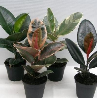 Lot de 2 Ficus elastica