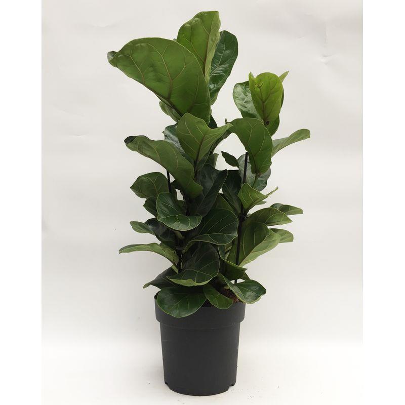 Ficus lyrata a vendre