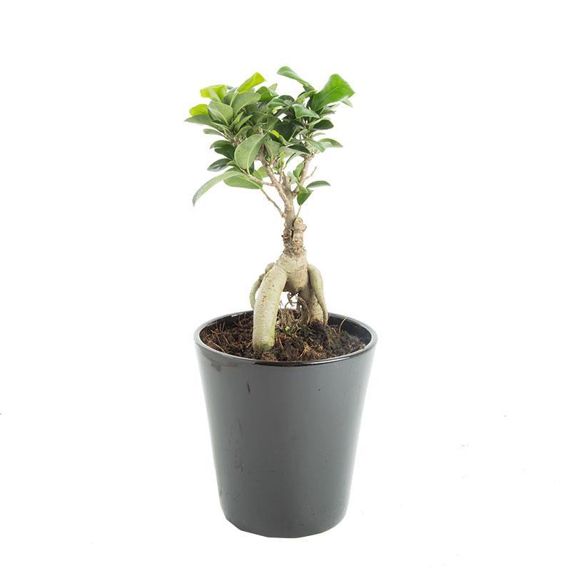 Ficus microcarpa a vendre