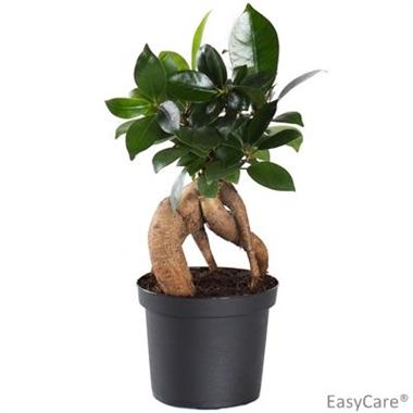 Ficus microcarpa d09 a vendre