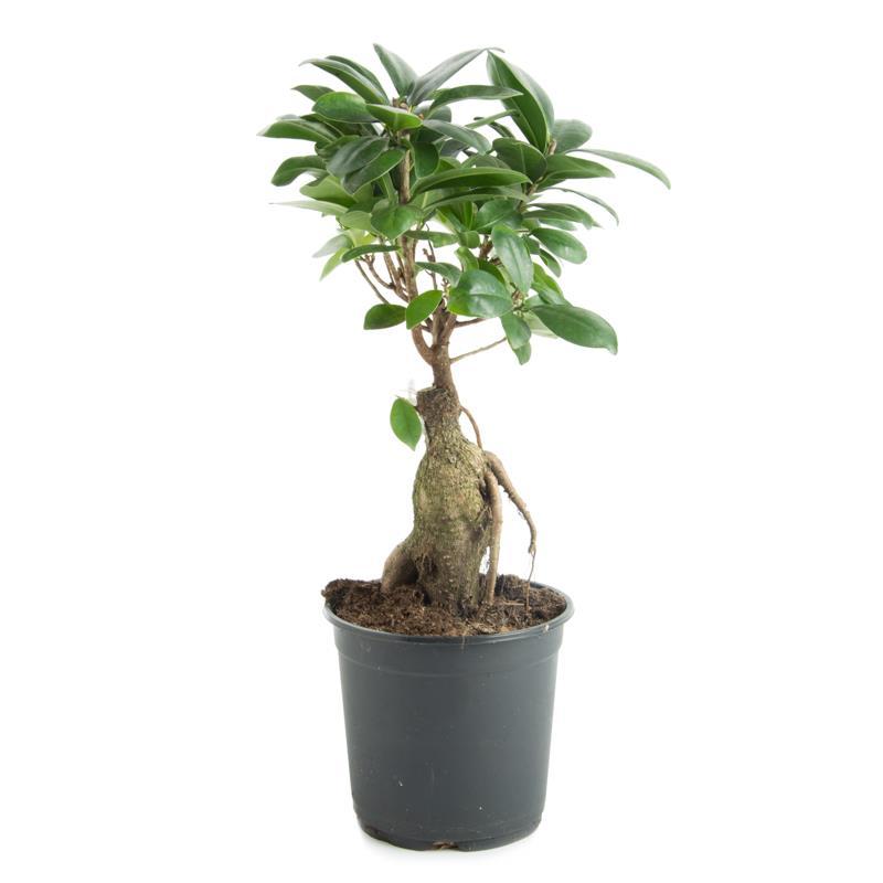 Ficus microcarpa d14 a vendre