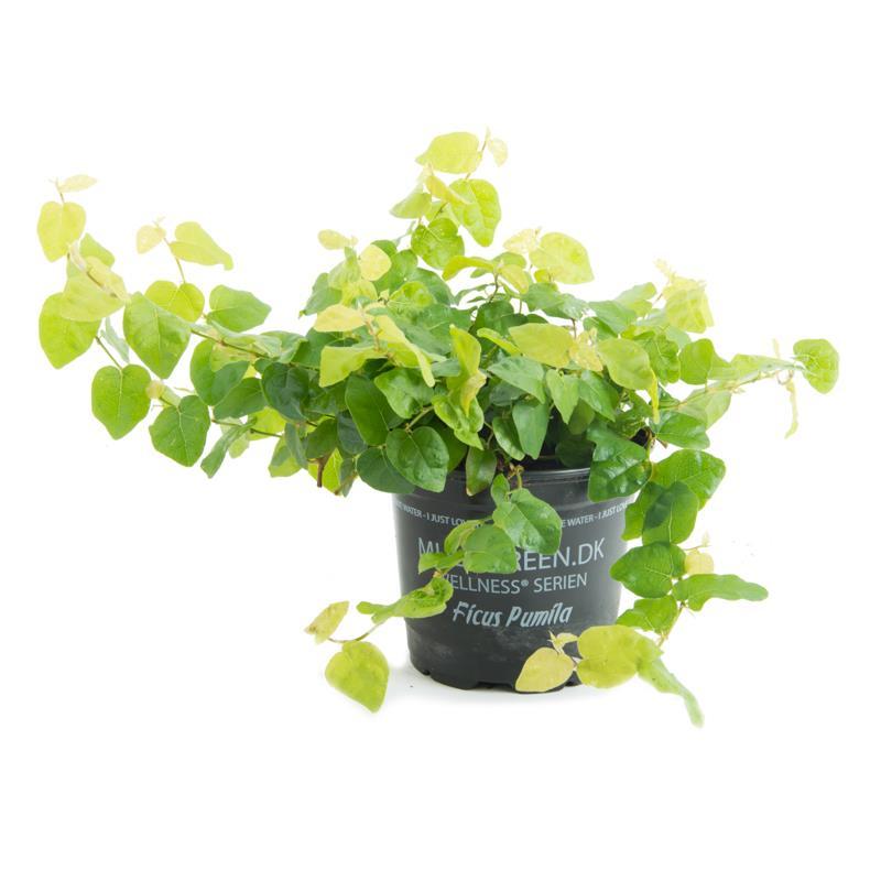 Ficus pumila a vendre