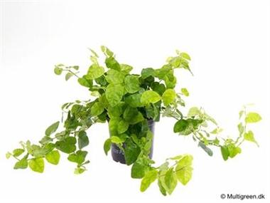 Ficus pumila d09 vert a vendre