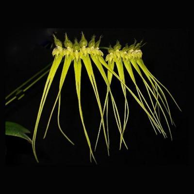 Orquídea Bulbophyllum flaviflorum