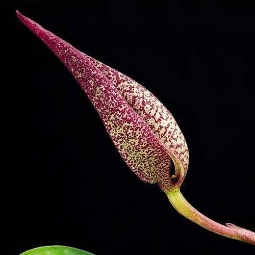 Orquídea Bulbophyllum fradolentum
