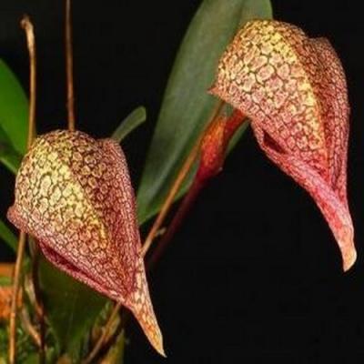 Orquídea Bulbophyllum fraudolentum