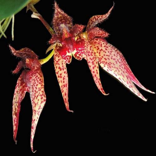 Orquídea Bulbophyllum Senne Frost