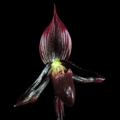 Orquídea Paphiopedilum dieter heyde x senne moor