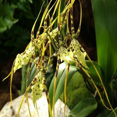 Orchidée Brassia senne rex