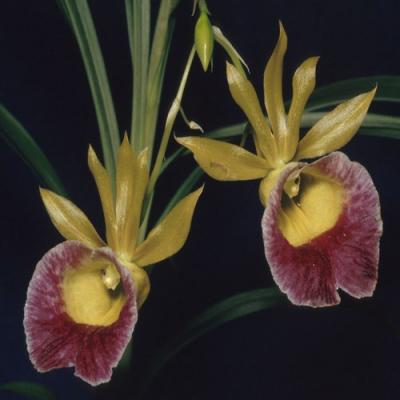 Orchidea Galeandra baueri