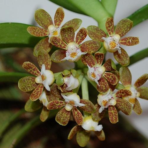 Orquídea Gastrochilus acutifolius