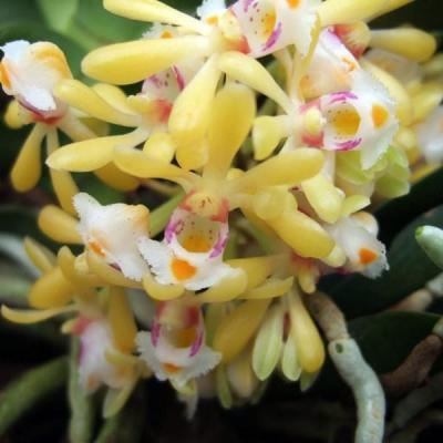 Orchidee Gastrochilus obliquus