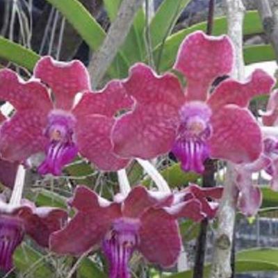 Orhidee Vanda Thongchai x V. tesellata
