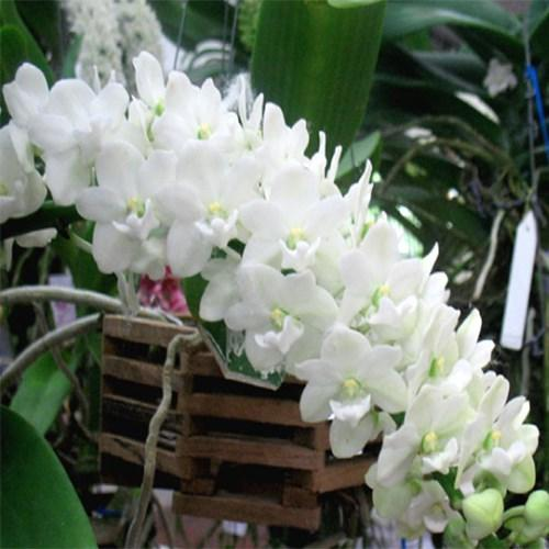 Orquídea Rhynchostylis White