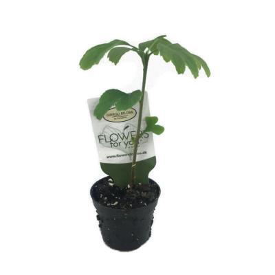 Ginkgo biloba arbre aux quarante ecus