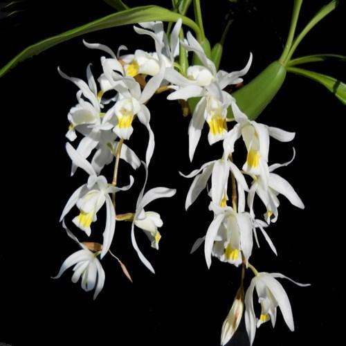 Orchidee Coelogyne glandulosa