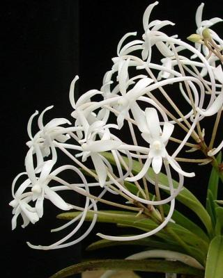 Orchidée Vanda falcata gojofukurin