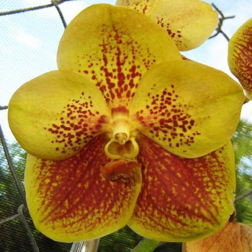 Orchid Vanda gold spot x vanda sanderiana