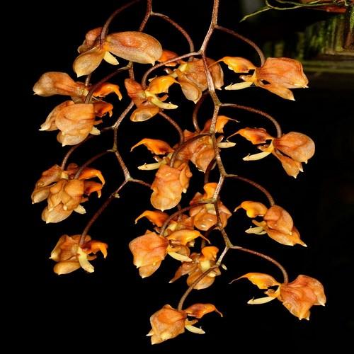 Gongora armeniaca orchidee achat