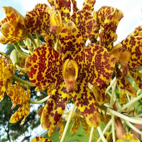Grammatophyllum speciosum orchidee rare vente plante fleur jardin serre