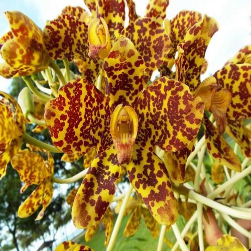 Orchid Grammatophyllum speciosum