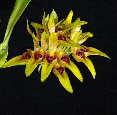 Orchid Bulbophyllum graveolens