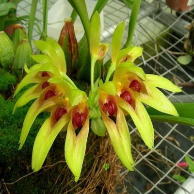Orquídea Bulbophyllum graveolens