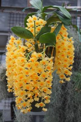 Orchidée Dendrobium griffithianum