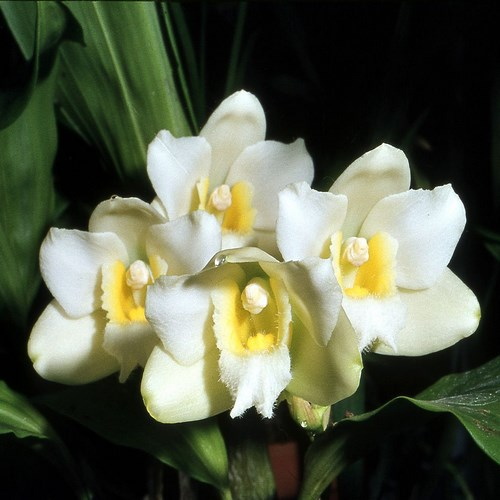 Harrisoniae var alba 1