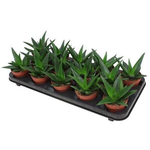 Haworthia pentagona cactus vente achat
