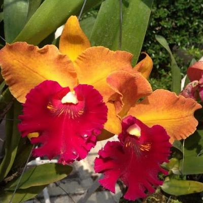 "Orchidée Cattleya Hey Song ""Orange """