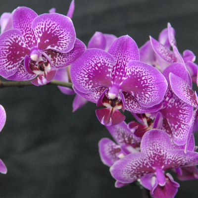 Orchidée Phalaenopsis 2 branches