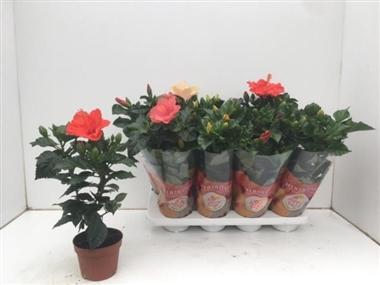 Hibiscus rosa sinensis a vendre