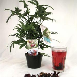 Hibiscus sabdariffa 1
