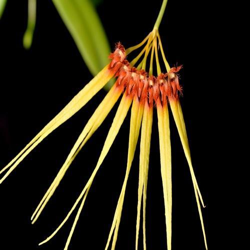 Orchidée Bulbophyllum hirundinis