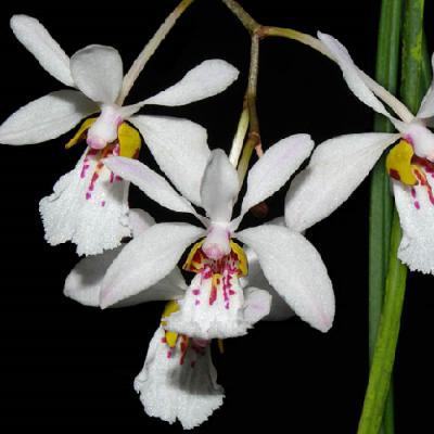 Orchidée Holcoglossum wangii