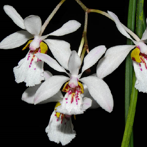Orchidee Holcoglossum wangii
