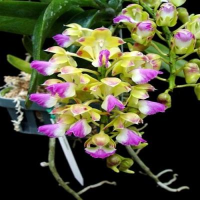 Orchid Aerides houlletiana