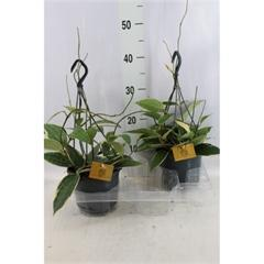 Hoya Macrophylla (15cm)