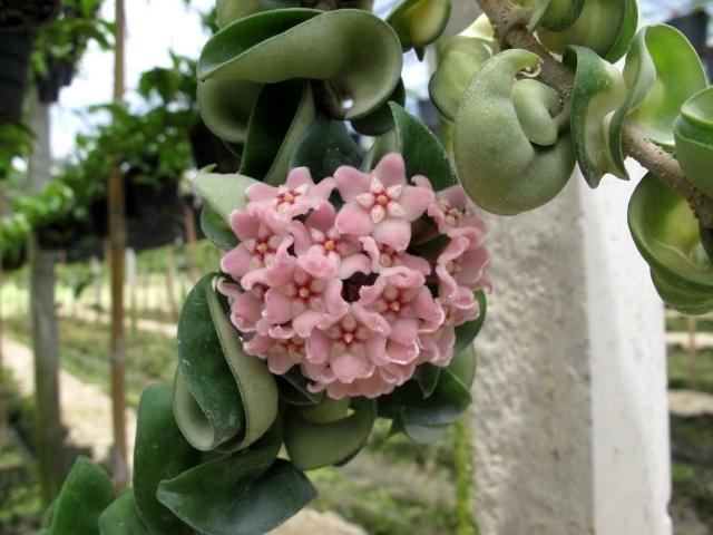 Hoya 20carnosa 20 compacta