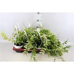Hoya australis 'Lisa' (12cm)