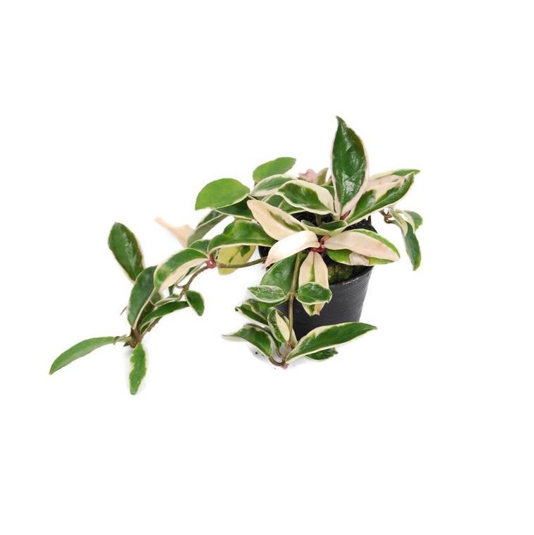 Hoya carnosa albomarginata 2