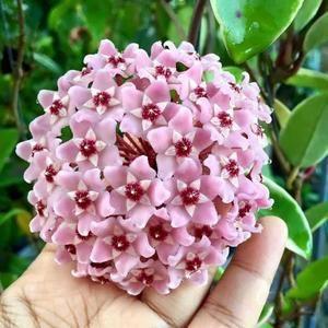 Hoya carnosa albomarginata fiore di cera vaso 11cm