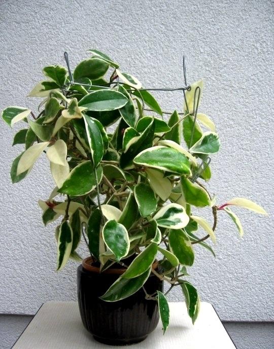 Hoya carnosa cv tricolor 26170 l