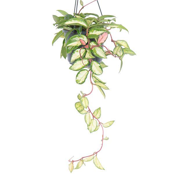 Hoya carnosa tricolor 14 600x600